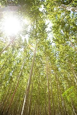 USA, Oregon, Boardman, Boplar trees in tree farm illuminated by bright sunshine