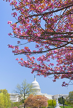 Cherry blossoms in front of Capitol building in Washington D.C.