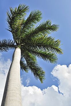 Cuban Cigar palm tree and blue sky
