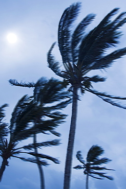 Tropical storm blowing palm trees, Bermuda