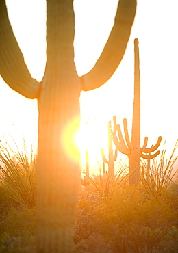 Sun shining behind cactus, Saguaro National Park, Arizona