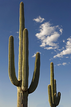 Saguaro Cactus plants against blue sky