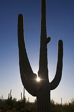 Sun shining behind cactus plant, Saguaro National Park, Arizona