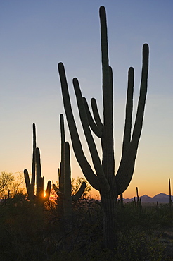 Cactus plants, Saguaro National Park, Arizona