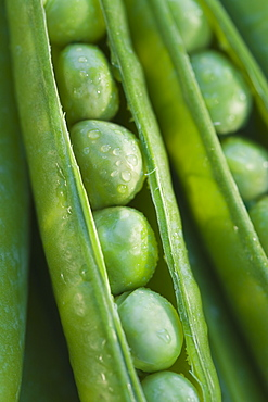 Close up peas in a pod