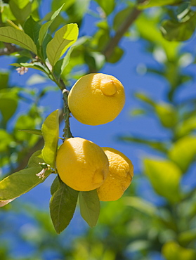 Close up of lemons on tree