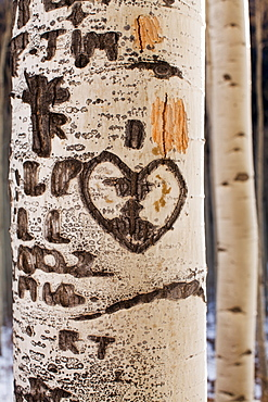 Close-up of aspen tree trunk with carved heart
