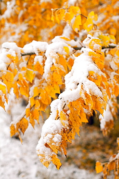 Twigs with yellow leaves covered by snow