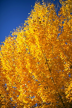 Close-up of yellow trees against blue sky