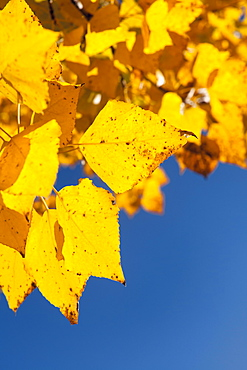 Close-up of yellow leaves against blue sky