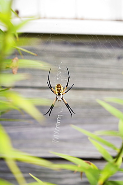 Garden spider on web
