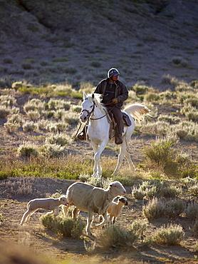 USA, Utah, Cowboy herding livestock in pasture