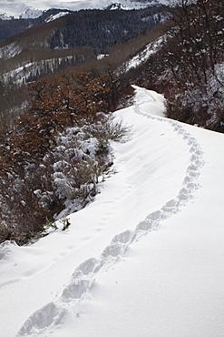 USA, Colorado, coyote tracks in snow