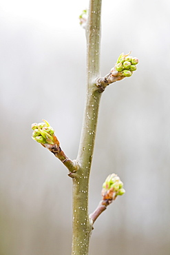Close up of pear twig with leaf buds