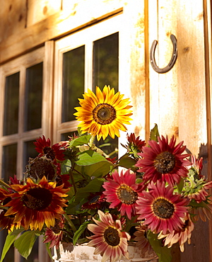 USA, Colorado, Sunflowers flowering in flower pot