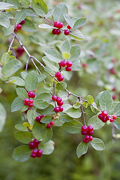 Red berries on wild plant