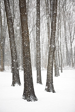 Trees on a snowy day