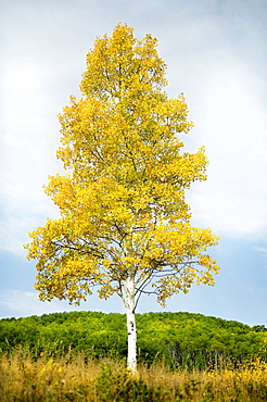 Steamboat Springs, Single tree standing on field in front of forest, Steamboat Springs, Aspen, Colorado, USA