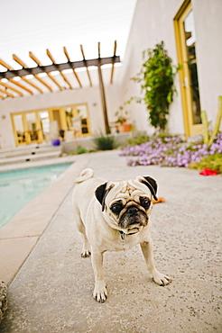 Pug by swimming pool in backyard