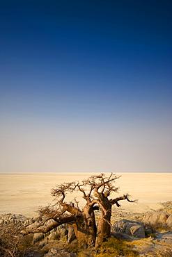 Barren trees in desert on Kubu Island, Botswana