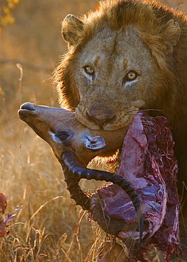Close up of lion holding carcass in mouth