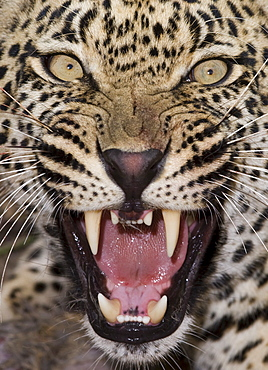 Close up of leopard growling