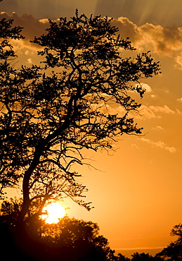 Silhouetted tree at sunrise