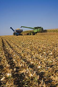 Combine harvesting in corn field