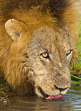Male lion drinking, Greater Kruger National Park, South Africa
