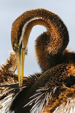 African Darter cleaning feathers, Marievale Bird Sanctuary, South Africa