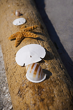 Starfish, sand dollars and shells on log, Florida, United States