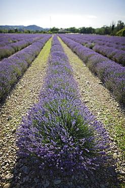 France, Drome, Piegros-la-Clastre, Lavender field