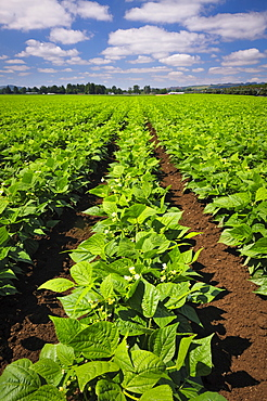 USA, Oregon, Marion County, Green bean field