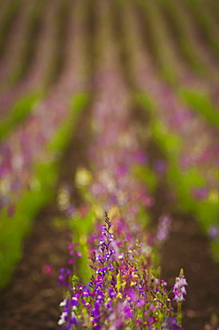 USA, Oregon, Marion County, Linaria flowers