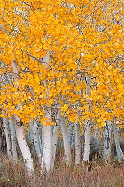 USA, California, Aspen tree trunks