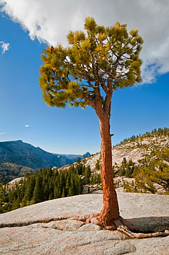 USA, California, Pine tree on rock