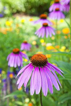 Purple Coneflower, Elkton, OR
