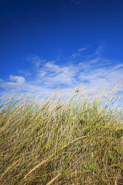 Dunes of the Oregon Coast grows sea grass, Bandon, OR