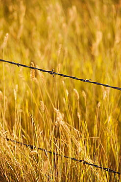 Close-up of barbed wire fence in yellow prairie grass