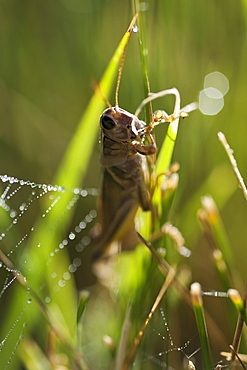 USA, South Dakota, Grasshopper on blade of grass in Badlands National Park