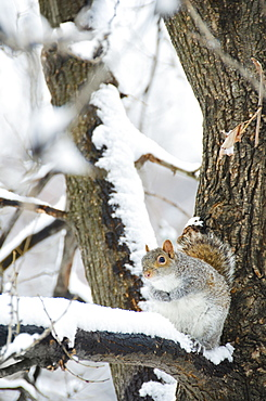 USA, New York, New York City, squirrel sitting on branch in winter