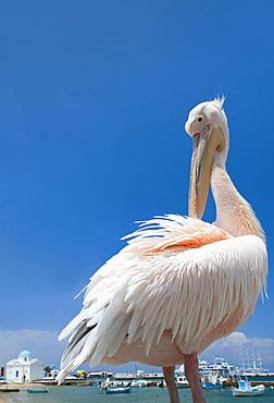 Greece, Cyclades Islands, Mykonos, Pelican at harbor