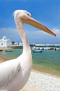 Greece, Cyclades Islands, Mykonos, Pelican on beach at harbor