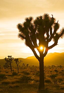 USA, California, Joshua Tree National Park, Joshua trees in desert at sunset, USA, California, Joshua Tree National Park
