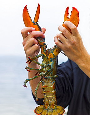 Man holding lobster, Portland, Maine