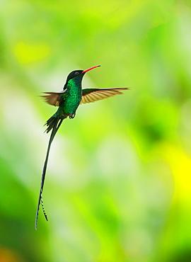 Hummingbird in flight, Jamaica