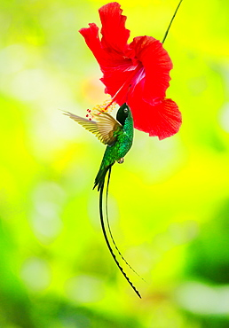 Hummingbird feeding with flower nectar, Jamaica