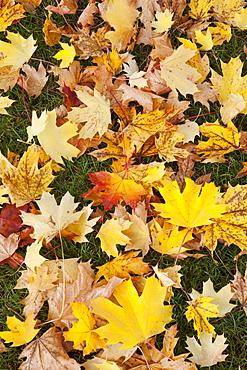 Full frame of autumn leaves