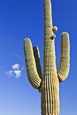 USA, Arizona, Phoenix, saguaro cactus on sky background, USA, Arizona, Phoenix