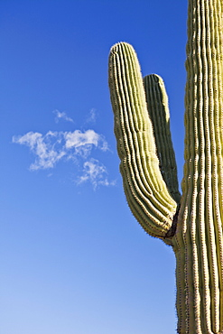USA, Arizona, Phoenix, part of saguaro cactus on sky background, USA, Arizona, Phoenix